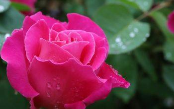 Örök rózsa tartósított virágokból