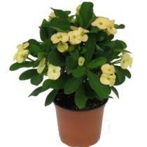 Szemet gyönyörködtető virágzó szobanövények